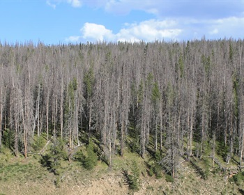 The Unexpected Relationship Between Bark Beetles and Wildfires