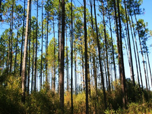 Large South Ga Timberland Tract : Homerville : Clinch County : Georgia