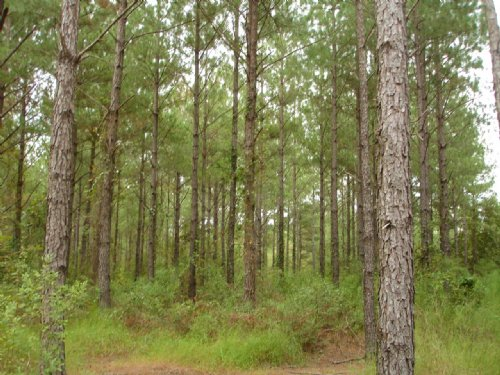 1012 Acres Of Timberland For Sale : Rochelle : Wilcox County : Georgia