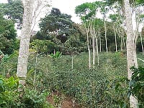 Excellent 7 Ac. Small Coffee Farm : La Suiza De Turrialba : Costa Rica