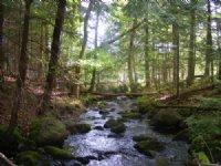 Limekiln Forest : Malone : Franklin County : New York