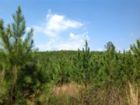 816 Acres Of Timberland : Maplesville : Chilton County : Alabama