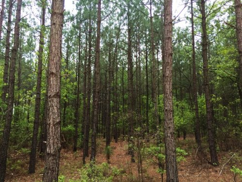 Big Branch Tract : Wagener : Aiken County : South Carolina
