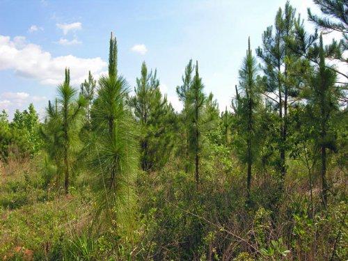 253 Acres Wooded, Creek : Keysville : Burke County : Georgia