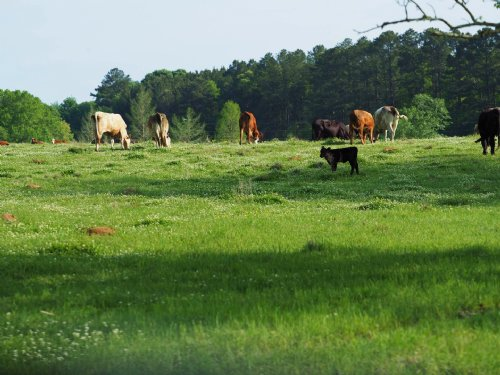 Cattle Farm Pasture Land Mount Oliv : Mount Olive : Covington County : Mississippi