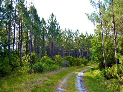 Levy County 452 Ac Hunting Timber : Bronson : Levy County : Florida