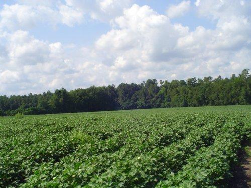 Blewer Tract 2 : Orangeburg County : South Carolina