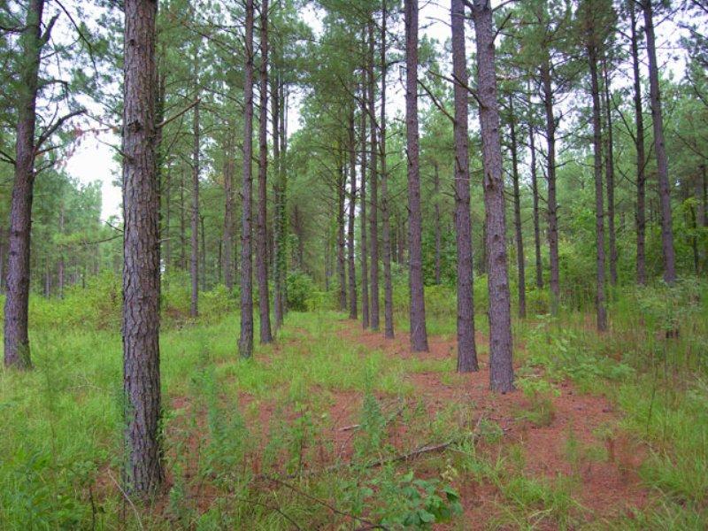 Reduced 482 Acres Pines,10 Ac Pond : Hephzibah : Burke County : Georgia