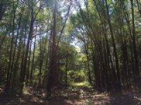 Free Tract, Hunting And Timber Land : Kinston : Coffee County : Alabama