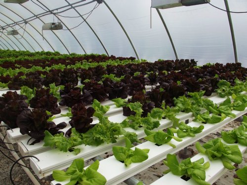 Hydroponic Lettuce Farm : Mount Airy : Surry County : North Carolina