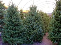 Ergle Christmas Tree Farm : Dade City : Hernando County : Florida