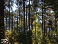140+/- Acres Pine Plantation Timber