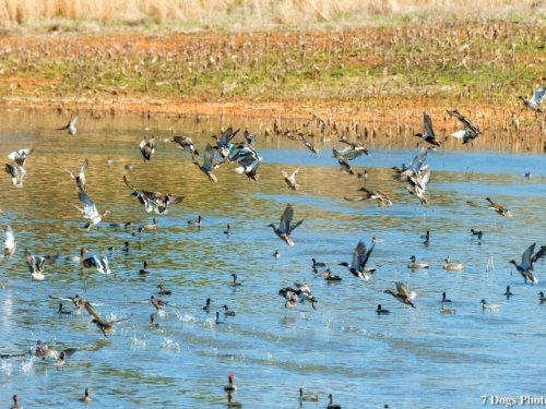 Ducks, More Ducks, And A Home : Stevenson : Jackson County : Alabama