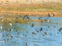 Ducks, More Ducks, And A Home : Stevenson : Jackson County : Alabama