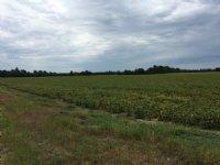 115 Acres +/- Farmland : Paragould : Greene County : Arkansas