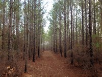 78 Acres Of Pine Plantation : Maplesville : Chilton County : Alabama