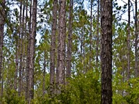 Timberland Near Carrabelle/Gulf : Carrabelle : Franklin County : Florida