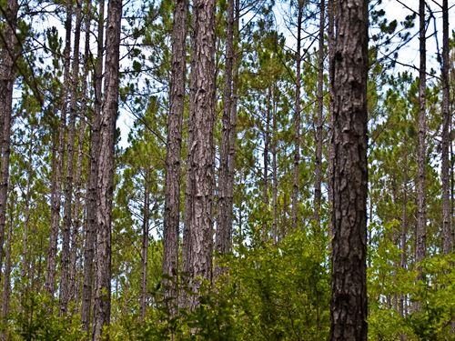 Timberland Near Carrabelle/Gulf : Carrabelle : Franklin County : Florida