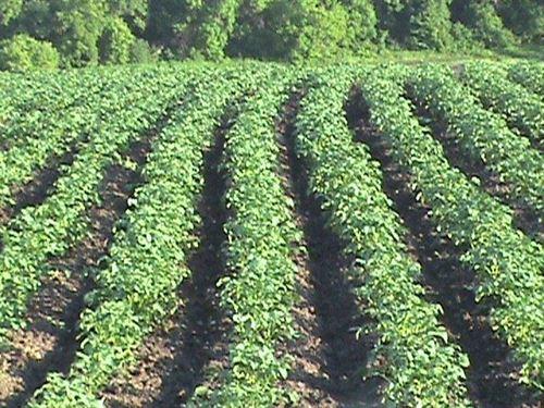 Vegetable Farm Land Farm Equip : Fergus Falls : Otter Tail County : Minnesota