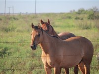 Cattle Ranch Auction - 482 Acres : Electra : Wichita County : Texas