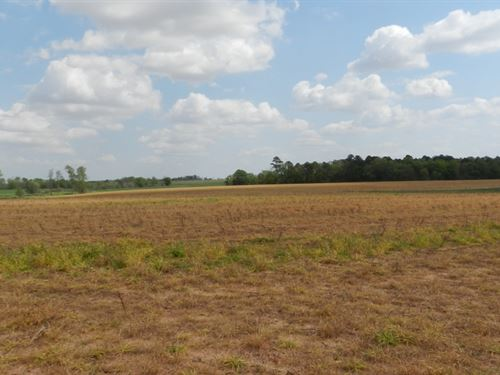 Farmland With Young Planted Pines : Lilly : Dooly County : Georgia