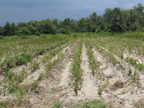 26.7 Acre Strawberry Farm : Plant City : Hillsborough County : Florida