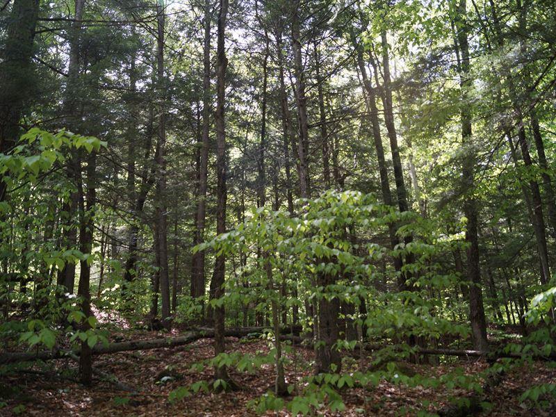 Tug Ridge Forest : Post Mills : Orange County : Vermont