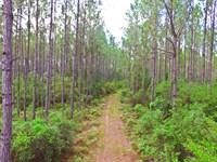 Unthinned Pine And Great Hunting : Perry : Taylor County : Florida