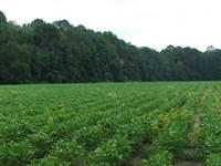 Halcyondale Hunt Camp : Sylvania : Screven County : Georgia