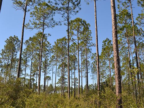 Wacissa Hunting Tract : Wacissa : Jefferson County : Florida
