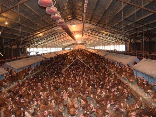 Ntt Large Organic Egg Farm : Jay : Delaware County : Oklahoma
