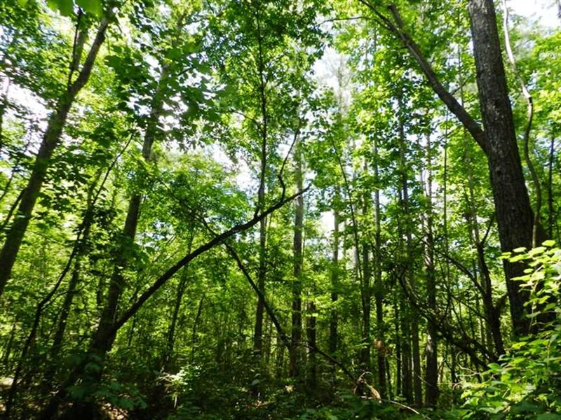 120 Acres of Fine Pine Timber in : Hamilton : Marion County : Alabama