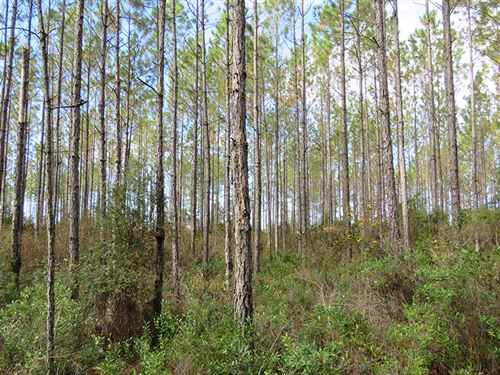 Shady Grove Timber : Greenville : Madison County : Florida