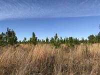 Blazed Pine : Hosford : Liberty County : Florida