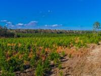 Hunting & Plantations Near Camden : Spring Hill : Lee County : South Carolina