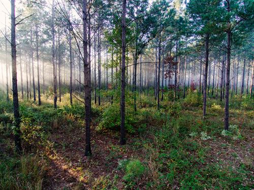 Timber Tract In Path Of Progress : Bainbridge : Decatur County : Georgia