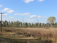 Planted Pine Stand : Sparta : Hancock County : Georgia