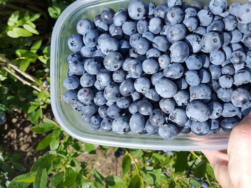 Thriving & Beautiful Blueberry Farm : Bangor : Van Buren County : Michigan