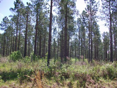 Multiple Timber Tracts : Vienna : Dooly County : Georgia