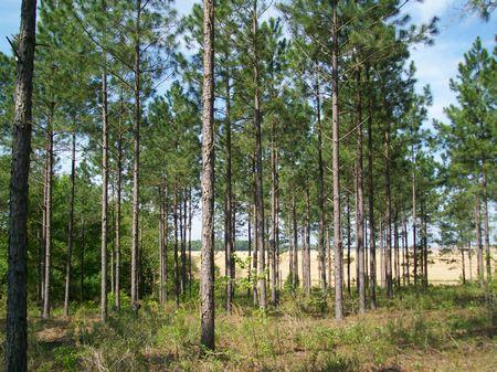 117 Acres Large Timber Land : Vienna : Dooly County : Georgia