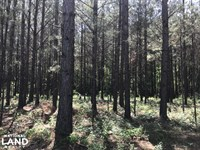Rose Hill Pasture And Pines : Rose Hill : Jasper County : Mississippi