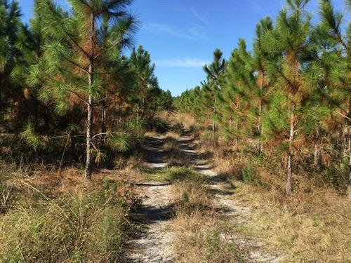 Planted Pines On Graded County Road : Mayo : Lafayette County : Florida