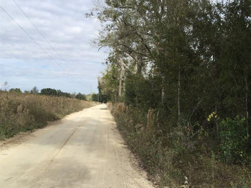 Planted Pines On County Graded Road : Live Oak : Suwannee County : Florida