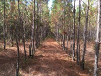 Planted Slash Pines : Live Oak : Suwannee County : Florida
