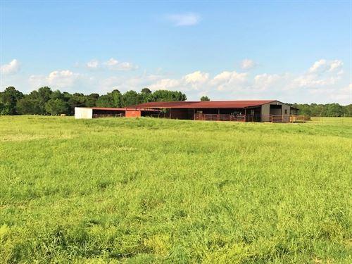 Cattle Grazing Rolling Ranch Land : De Kalb : Bowie County : Texas