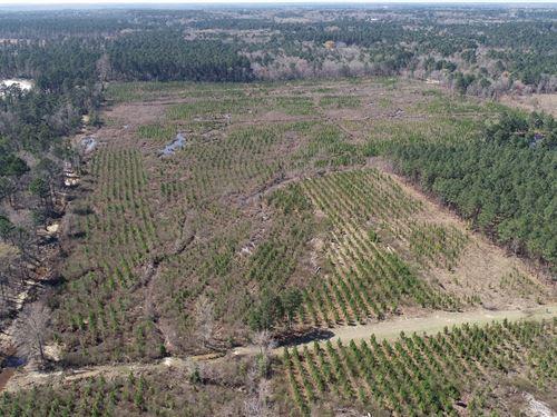 Young Southern Arkansas Pine : El Dorado : Union County : Arkansas