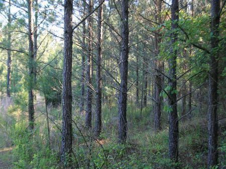 558 Acres Pine Timberland : Holly Springs : Marshall County : Mississippi
