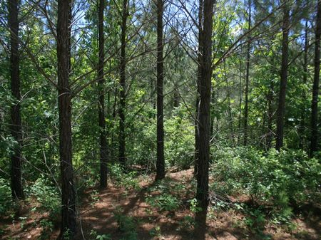 87 Acres Pine Timberland : Ripley : Benton County : Mississippi