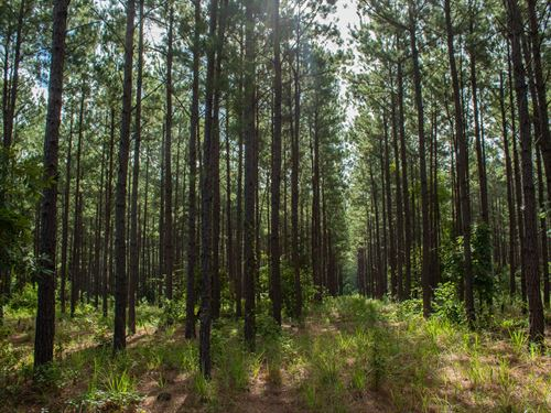 145.3 Acres Timber Hunting : Mount Enterprise : Rusk County : Texas