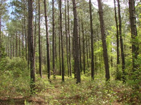 101 Ac. Hunting &timber Investment : Rupert : Taylor County : Georgia